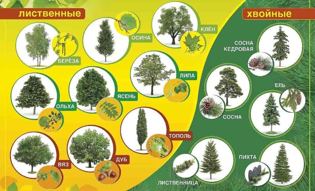 лиственные и хвойные породы деревьев